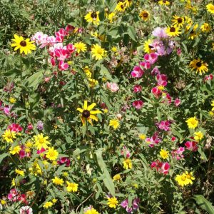 Mountain Native Wildflower Seed Mix