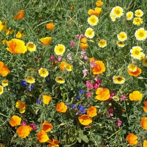 Southwest Native Wildflower Seed Mix