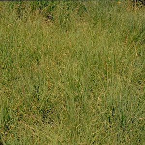 Shortgrass Prairie Grass Mix