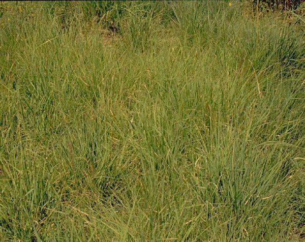 Shortgrass Prairie Grass Mix