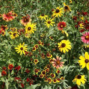 Shortgrass Prairie Wildflower Seed Mix