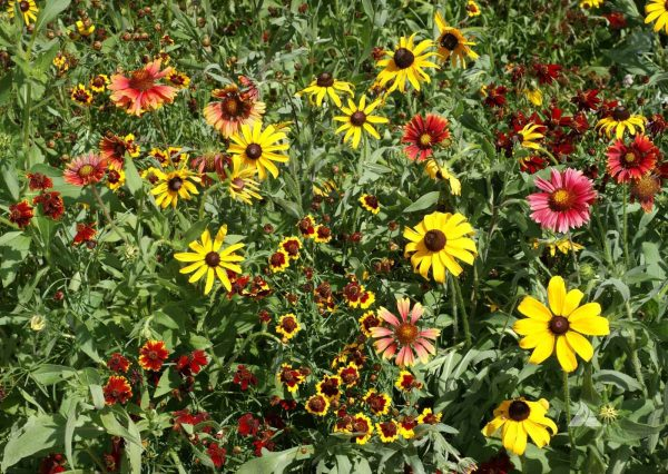 Shortgrass Prairie Wildflower Seed Mix