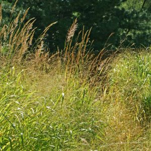 Tallgrass Prairie Grass Mix