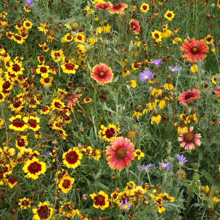 High Plains Native Wildflower Seed Mix