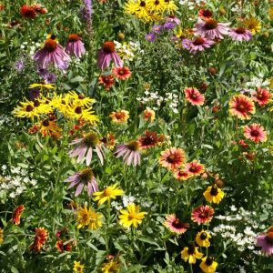 Midwest Native Wildflowers, Seed Mix for the Midwestern native garden