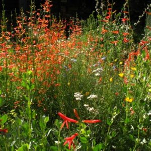 Western Xeriscape Wildflower Mix