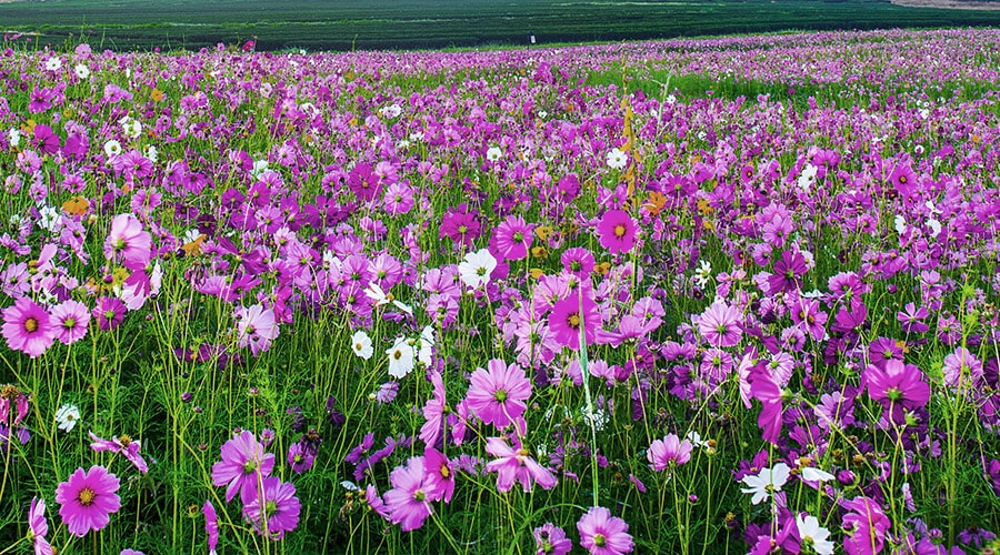 Cosmos in mass planting