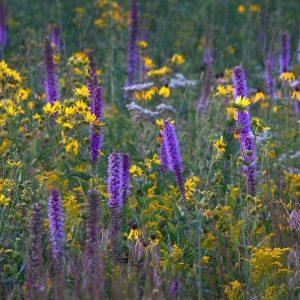 Native Perennial Flower Seed Mix