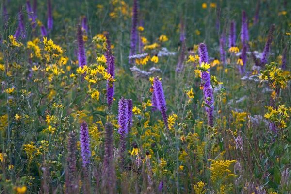Native Perennial Flower Seed Mix