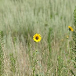 Northern Plains Native Grass Mix