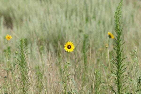 Northern Plains Native Grass Mix