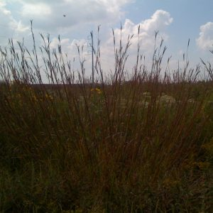 Northeast Native Grass Mixture